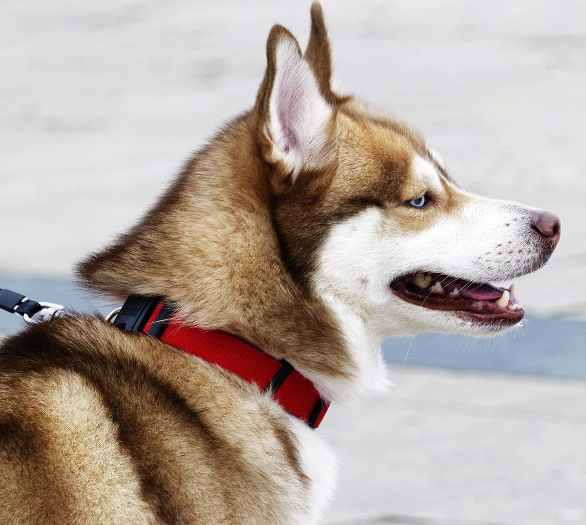 pet-collar-2